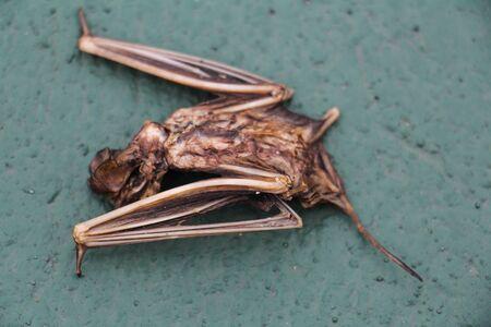 leavings: carcass of bat