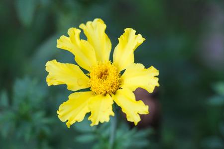 garden marigold: Marigold in my garden. Stock Photo