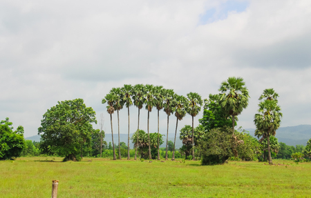 sugar palm: Cornfield and Sugar palm at Prachinburi Province,Thailand.