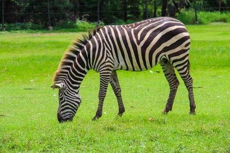 graze: Zebra graze in the zoo. Stock Photo
