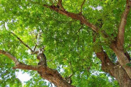 tamarindo: Árbol de tamarindo. Foto de archivo