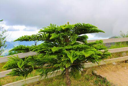 bulwark: Pine at Phu Tub Berk in Phetchabun Province,Thailand.