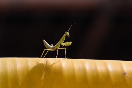 grass beautiful: Grasshopper on banana leaf  in the garden.