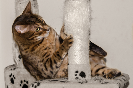 A playing Bengal cat.