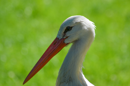 Head of a stork