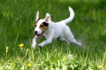 perro corriendo: Ejecución de perro