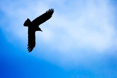 cuervo: Silueta de Hooded Crow (Corvus cornix) en brillante cielo  Foto de archivo