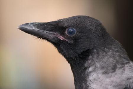 nestling: Crow nestling close up on blurred background Stock Photo