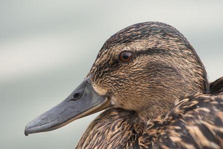 deplorable: Female wild duck or mallard (Anas platyrhychos) close up Stock Photo