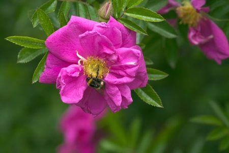 Pink dog-rose flower with humblebee collecting pollen photo