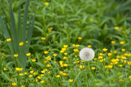 White open dandelion in field of small yellow flowers photo