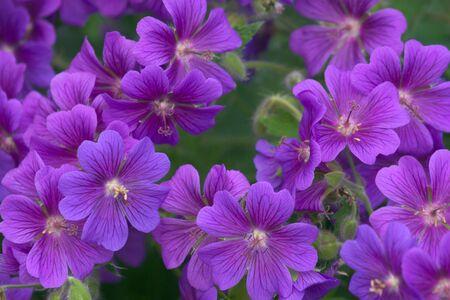 cranesbill: Small purple flowers Tuberous Cranesbill (Geranium tuberosum)