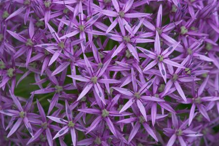 Single purple decorative onion flower close up Stock Photo - 3253664