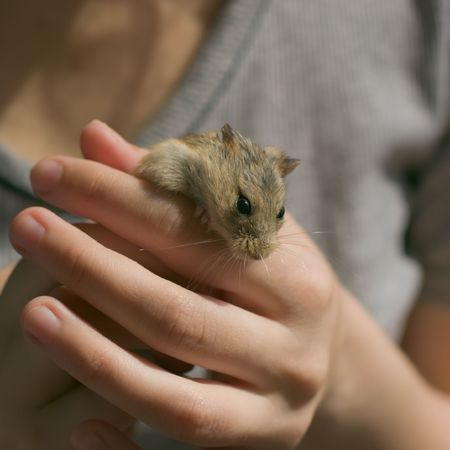 dwarf hamster: Young campbells dwarf hamster (Phodopus campbelli) in woman hands Stock Photo