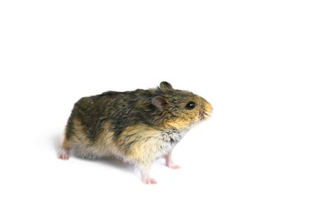 dwarf hamster: Young campbells dwarf hamster (Phodopus campbelli) isolated on whitebackground Stock Photo