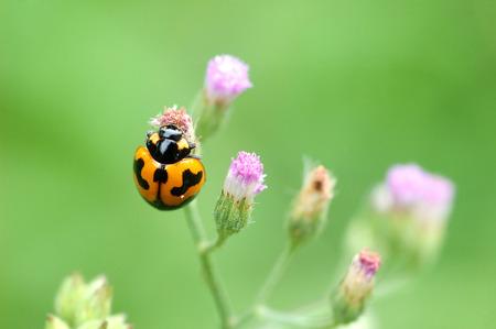 contrasting: Orange lady bug on flower Stock Photo