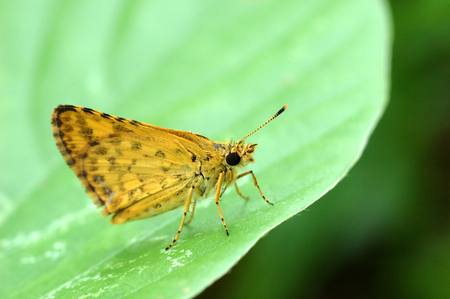 confucian: butterfly, Confucian Dart(Potanthus confucius) Stock Photo