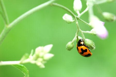 ladybug on a green leaf macro photo