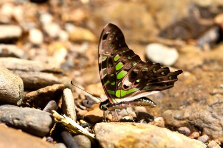 tailed: Tailed Jay butterfly.(Graphium agamemnon) Stock Photo