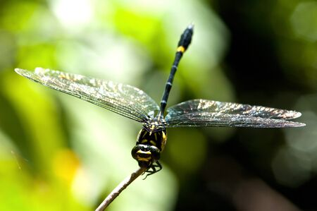 dragonfly wing: black dragonfly