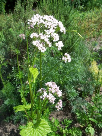 valerian: Close up of a blooming medicinal valerian