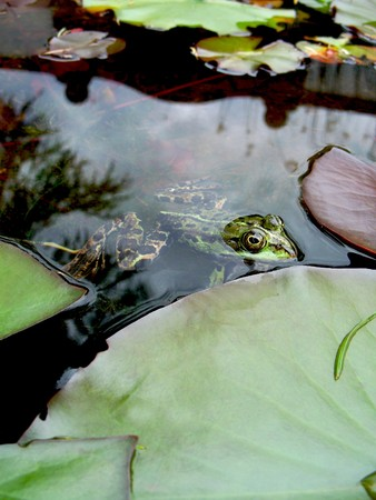lessonae: Close-up of a pool frog in a pond