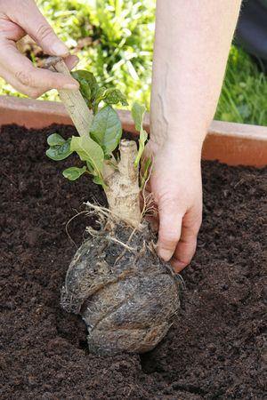 plantando un arbol: Hembra de manos plantar un �rbol - al aire libre disparo