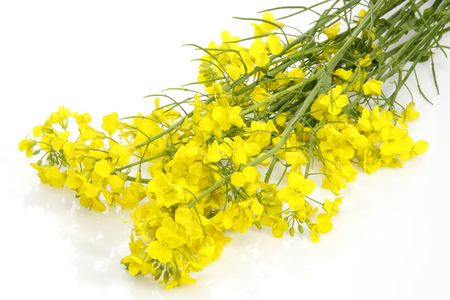 Close-up of yellow blooming rape over white background