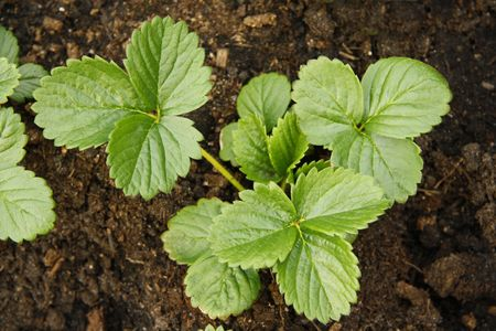 young strawberry plants in soil Standard-Bild