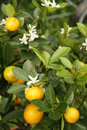 Blooming and fructiferous tangerine tree - outdoor shot
