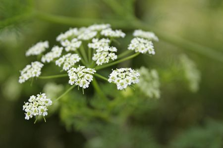 Close-up of white yarrow blossoms - outdoor shot photo