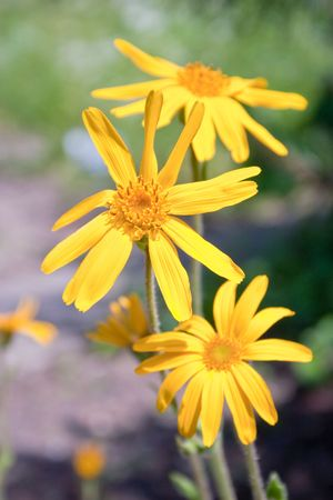 Closeup of a blooming arnica in a garden - outdoor shot