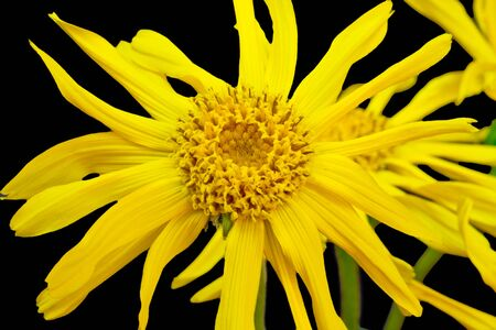 Closeup of a leopards bane - isolated on black photo