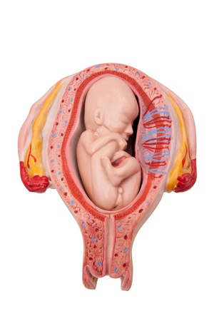 Medical model of a fetus in womb - isolated