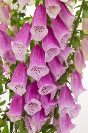 Close-up of foxglove blossoms over white background