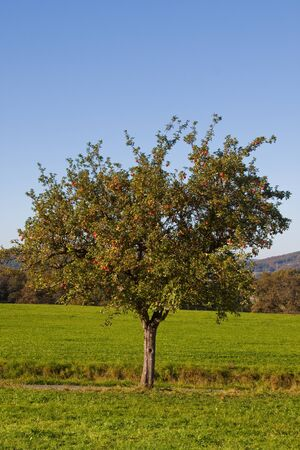 yielding: Fruit yielding apple tree in fall - outdoor shot