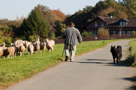 Shepard with his dogs an a herd of sheep Stock Photo