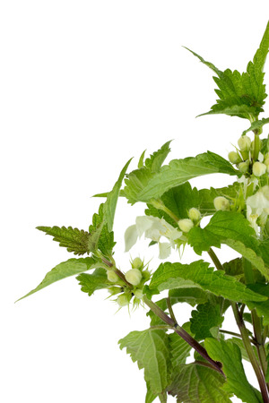 stinging  nettle: Closeup of blooming stinging nettle over white background Stock Photo