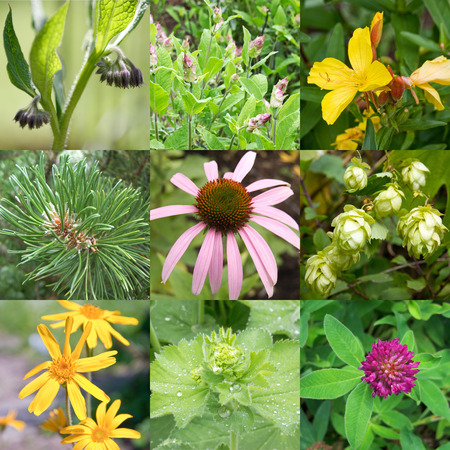 ladys mantle: Collage of different medicinal plants Stock Photo