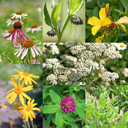 medicinal herbs: Collage of different medicinal plants Stock Photo