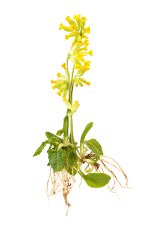 Wild cowslip with roots isolated on white background Standard-Bild