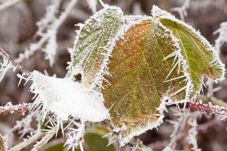blackberry bush in winter