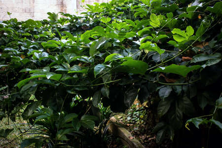foliage plants spread in the walls of a house Stock Photo