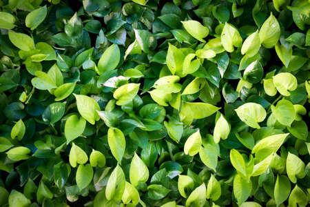 fresh green leaves in the morning