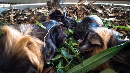 Guinea-Pig animals are eating Stock Photo
