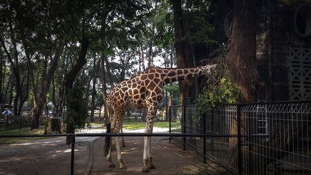 Giraffes at a zoo in Asia are enjoying lunch