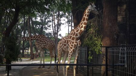 Two giraffes at a zoo in Asia are enjoying lunch Stock Photo