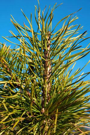 ponderosa: Green pine twig on blue sky background  Outdoors