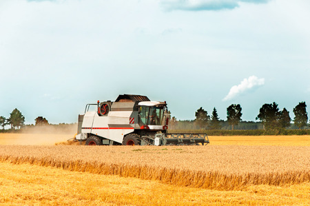Combine cutting wheat on the field. Harvest time. Sunlight outdoors. photo