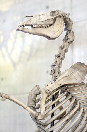 animal skull: Bones of horse skeleton. Anatomic exhibit